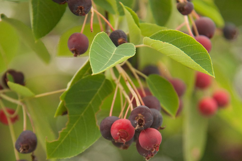 Serviceberry the most delicious fruit you arent eating backyard serviceberry thecheapjerseys Image collections