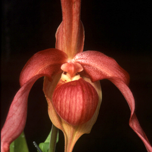 phrag orchid