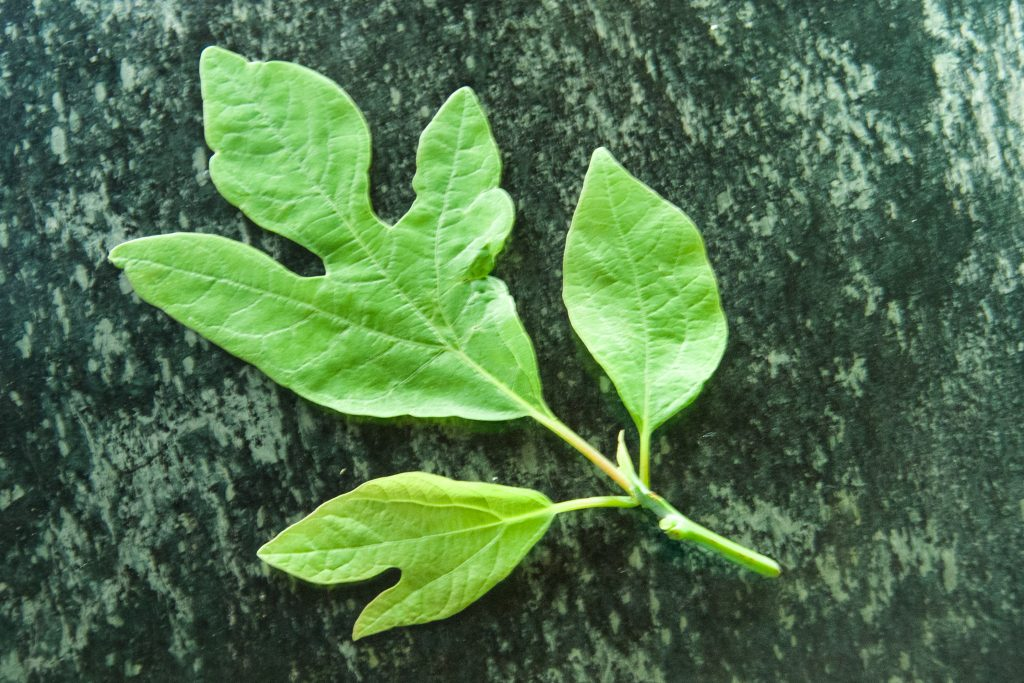 note the three shapes of sassafras leaves.