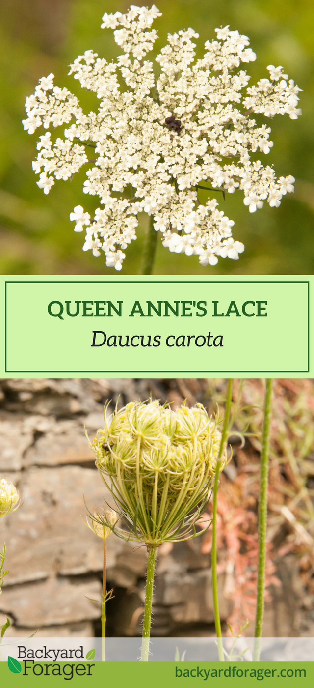 Learn How To Identify Queen Anne S Lace Then Play With It In The