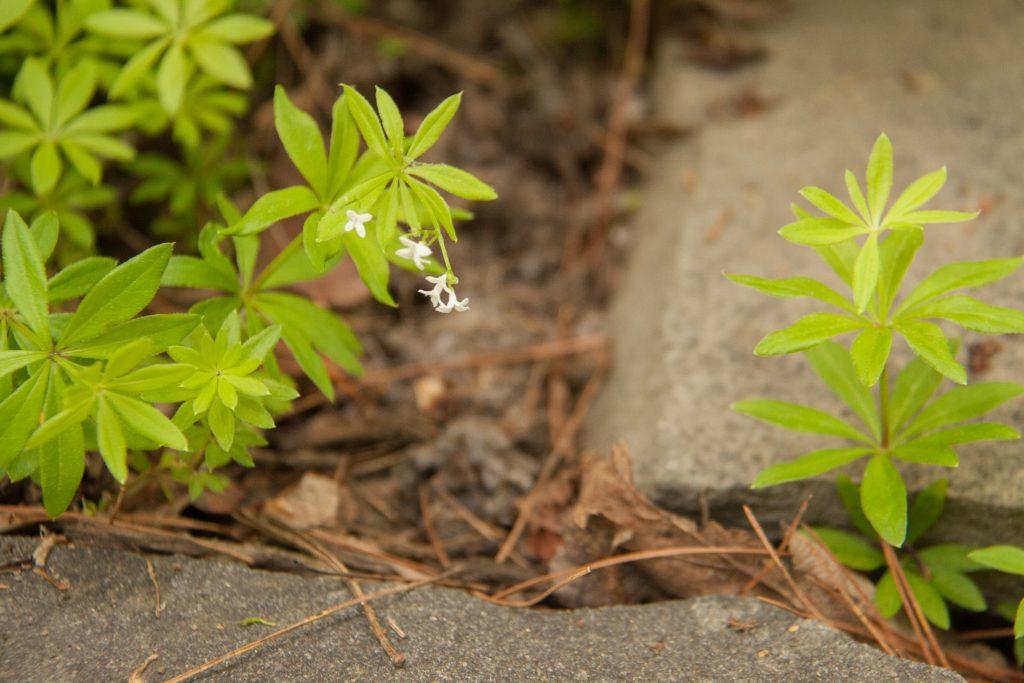 Galium odoratum aka sweet woodruff