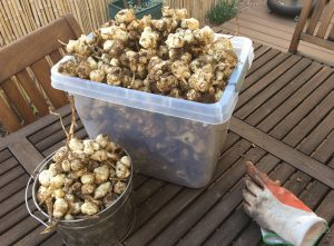 Jerusalem artichoke harvest