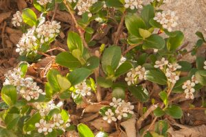 Spring flowers of Aronia 'Low Scape Mound'